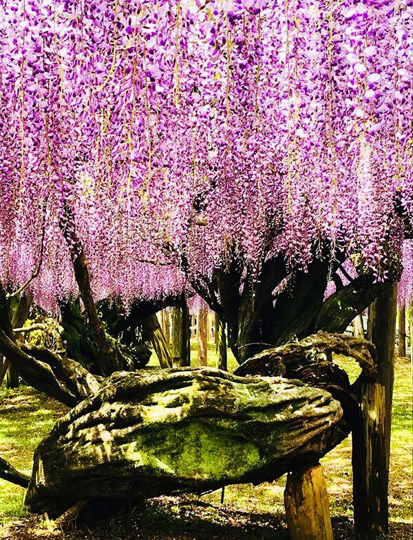 wisteria tuneli cicekleri